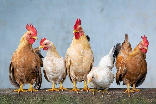 les poules, hens en anglais